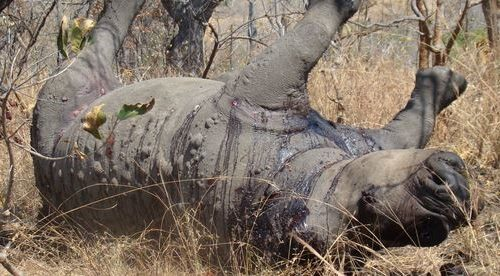 Another poached rhino in the Kruger National Park in SA