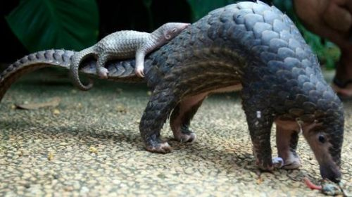 Pangolins the vector between mammals for corona virus