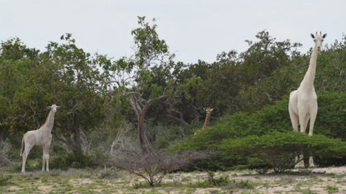 © Hirola Conservation Program white giraffes