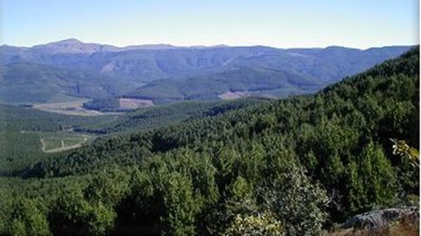 Pine plantations in Sabie, South Africa